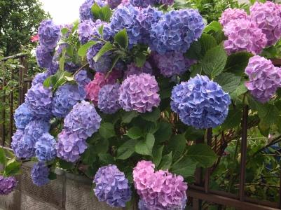 Inflorescente de hortensia
