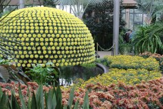 Crizanteme spectaculoase in expozitie