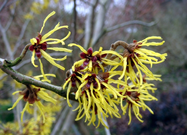 Flori de Hamamelis