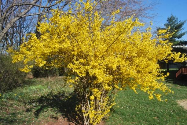 Forsythia - aspectul arbustului