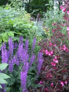 Salvia, Weigela, Wisteria