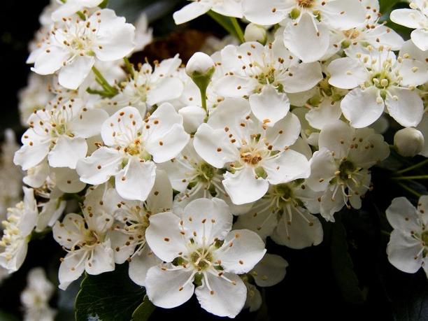 Flori de Pyracantha
