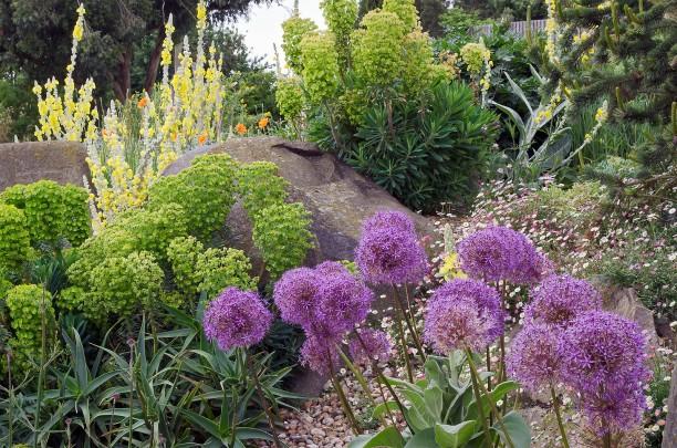 Verbascum si Allium