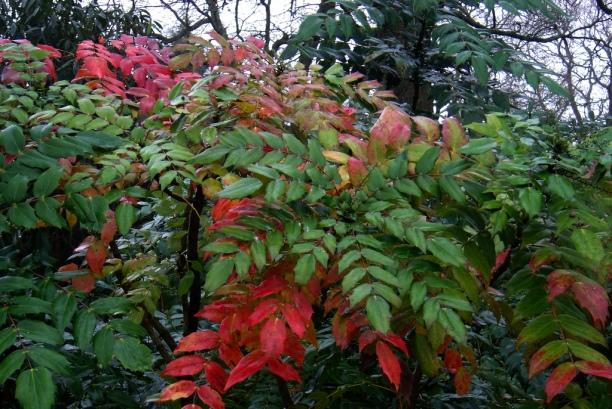 Mahonia - frunzis decorativ