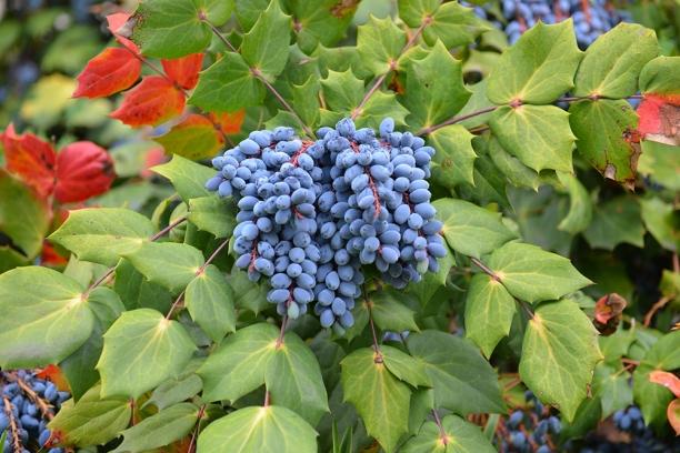 Fructe de Mahonia