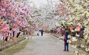 Festivalul Florii de Cires