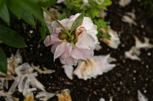 Flori culcate la pamant