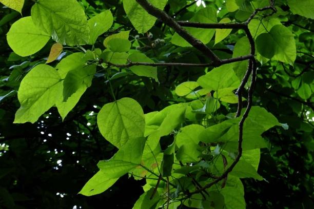 Frunze de Catalpa