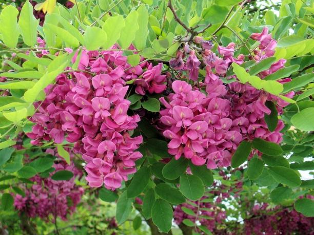 """Robinia pseudoacacia """"Casque Rouge"""""""